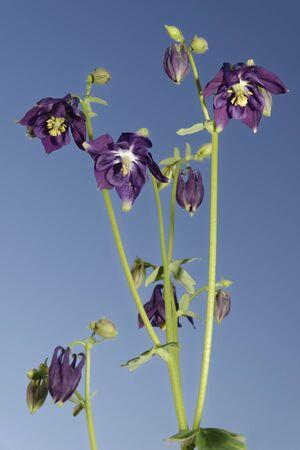 Common Columbine - Aquilegia vulgaris againt blue sky