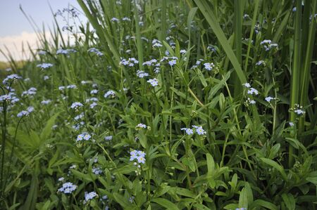 Water Forget-me-not - Myosotis scorpioides Stock Photo