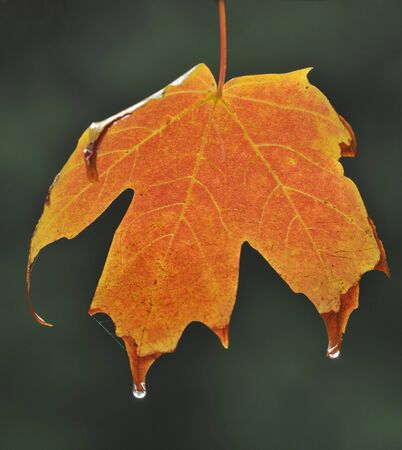 Norway Maple - Acer platanoides'Crimson Sentry' Autumn leaf Stock Photo