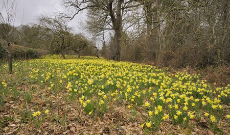 Wild Daffodils - Narcissus pseudonarcissus