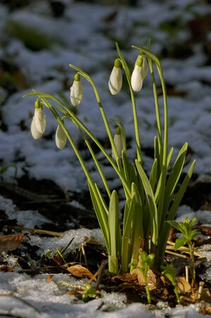 Snowdrops - Galanthus nivalis