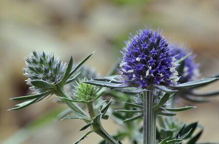Sea Holly Blue Eryngo - Eryngium planum