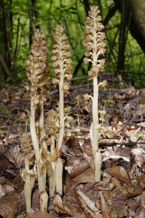 Bird's Nest Orchid - Neottia nidus-avis Group of flower spikes in Cotswold Beech woodland 免版税图像