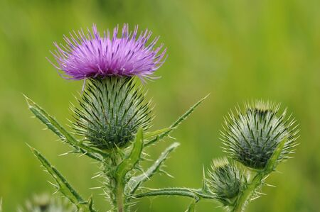 Spear Thistle - Cirsium vulgareFlower and Buds