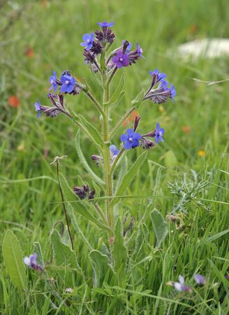 Italian Bugloss - Anchusa azurea