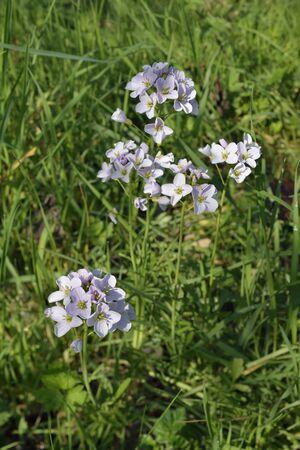 Cuckoo Flower or Lady's Smock - Cardamine pratensisin Spring Grass