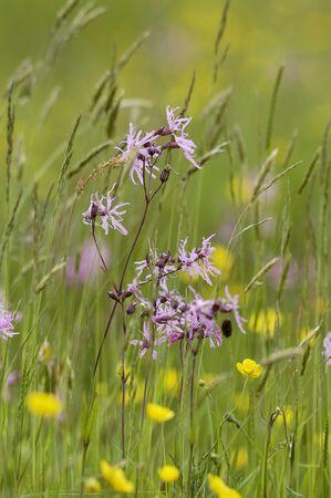 Ragged Robin - Lychnis flos, in wet hay meadow