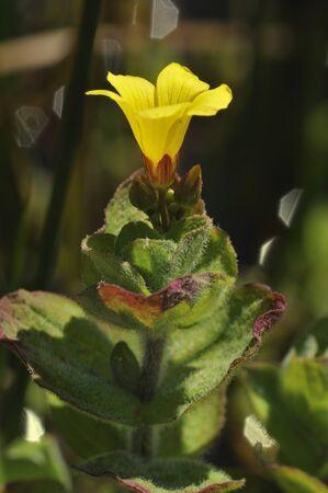 Marsh St John's-wort - Hypericum elodes