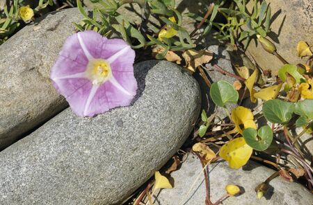 Sea Bindweed - Calystegia soldanella