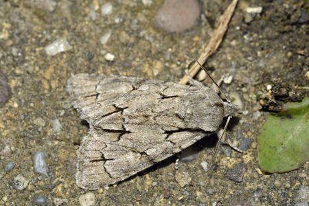 Grey Dagger Moth - Acronicta psi 版權商用圖片