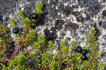Crowberry - Empetrum nigrum Black Berries & Leaves growing over Granite Rock Cairngorm Mountains, Scotland Stock Photo