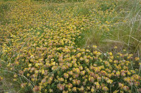 Kidney Vetch - Anthyllis vulnerariaCarpet of flowers on Machair Grassland