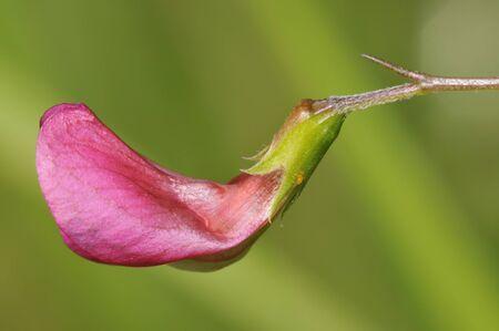 Grass Vetchling - Lathyrus nissolia Foto de archivo