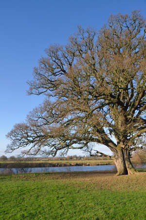 Pedunculate (English) Oak Tree - Quercus robur, on banks of the River Severn, Deerhurst, Gloucestershire Reklamní fotografie