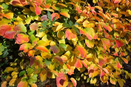 American Wych Hazel - Fothergilla major, autumn Leaves
