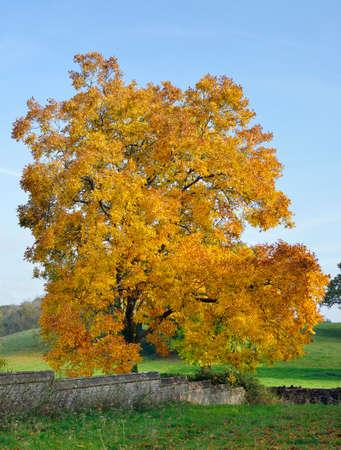 Shagbark Hickory Tree - Carya ovata, Autumn Colours in Tortworth Church yard