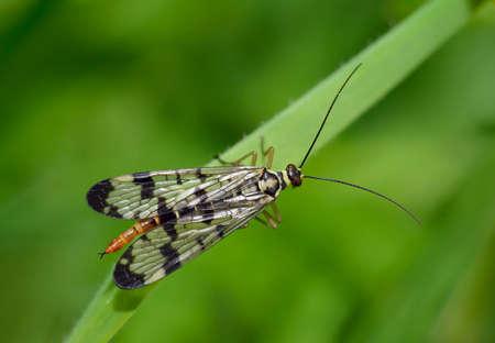 Scorpion Fly - Panorpa sp, female Reklamní fotografie