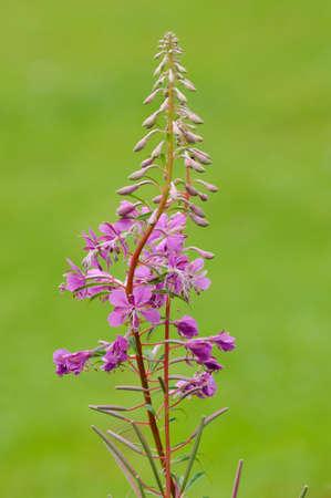 Rosebay Willowherb - Chaemerion angustifolium Reklamní fotografie