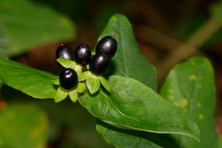 Tutsan - Hypericum androsaenum, black berries Reklamní fotografie