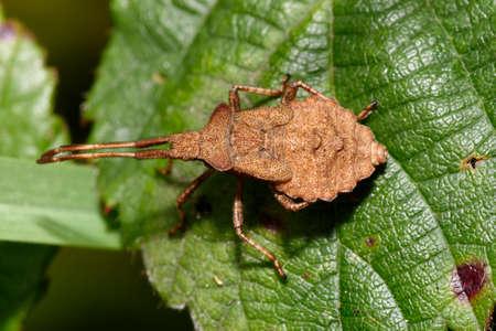 Dock Bug or Squash Bug - Coreus marginatus, nymph on bramble leaf