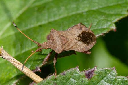 Dock Bug or Squash Bug - Coreus marginatus, on bramble leaf