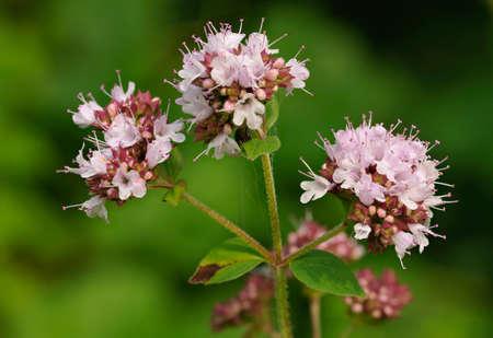 Wild Marjoram - Origanum vulgare, three flowers