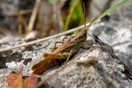 Common Field Grasshopper - Chorthippus brunneus, on limestone rock Reklamní fotografie