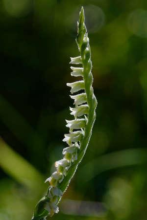 Autumn Ladys Tresses - Spiranthes spiralis, backlite flower spike