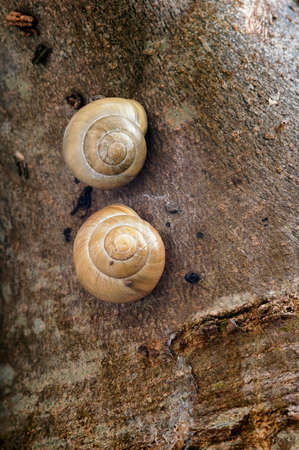 White-Lipped Snails - Cepaea hortensis, on tree trunk Reklamní fotografie