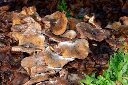 Large clump of mature Honey Fungus - Armillaria mellea on old tree stump