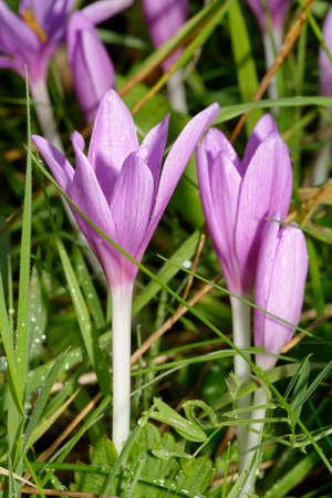 Meadow Saffron - Colchicum autumnale, flowers in wet grass