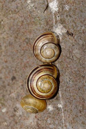 White-Lipped Snails - Cepaea hortensis, two on limestone rock