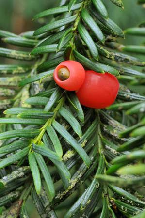 Yew Berries - Taxus baccata