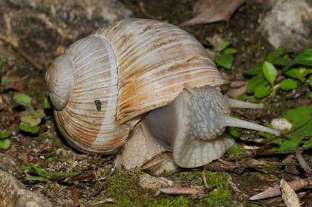 Roman Snail - Helix pomatia, large edible snail