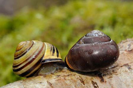 Brown-Lipped Snail - Cepaea nemoralisPair mating
