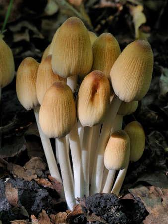 Glistening Ink Cap Fungi - Coprinellus micaceus Reklamní fotografie