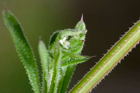 Cleavers or Goosegrass - Galium aparine, closeup of flower, leaves & stem