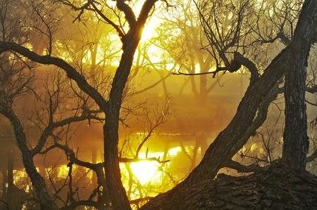 thru: sunrise behind golden fog shining thru tree fallen in river