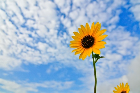 wispy: sunflower against vibrant blue sky with wispy clouds Stock Photo