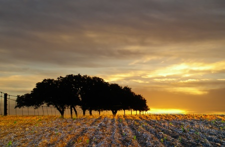 lone stand of oak trees with sunrise in wheatfield