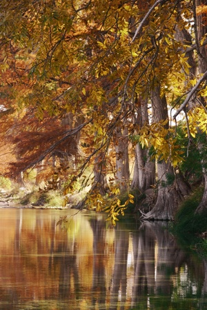 cypress tree: autumn reflections on the river, texas hill country