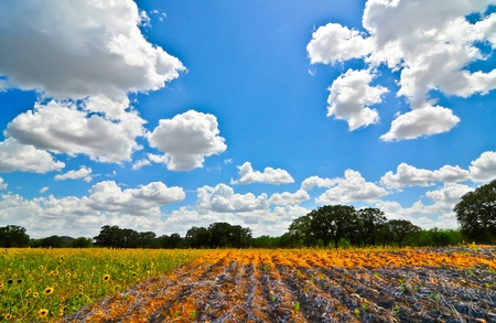 wheatfield: wheatfield and blue skies