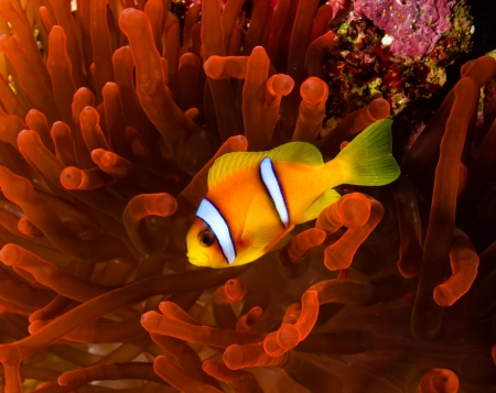 A red sea clownfish swims around its vivid red host anemone photo
