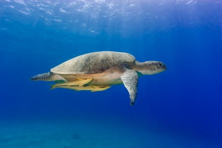 A Green Turtle  Chelonia Mydas  with 2 Remora attached swims in shallow clear, blue water with sunbeams behind photo