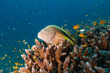 A Grouper sits on a hard coral surrounded by tropical fish Stock Photo - 16696498
