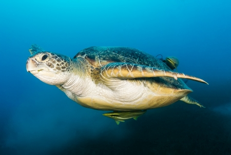 A Green Turtle  Chelonia Mydas  swims above a cloud of silt and seagrass on a dark afternoon Stock Photo