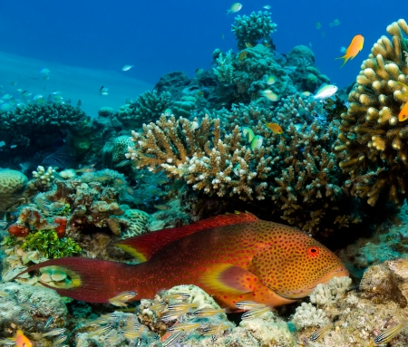 A colorful Coral Grouper rests underneath a hard coral on a tropical reef in the Red Sea Stock Photo - 16696497