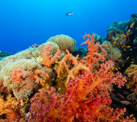 Vividly coloured soft corals and tropical fish swim around a coral reef in the Red Sea photo