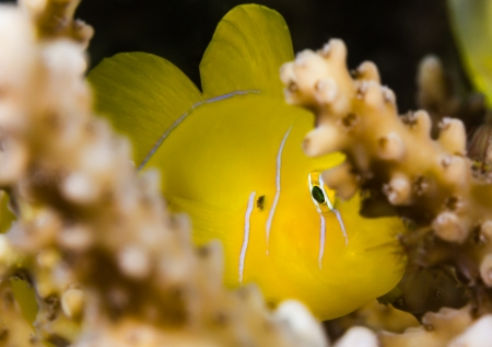 goby: Shy Lemon Goby peers out from the branches of an Acropora table coral with a black background