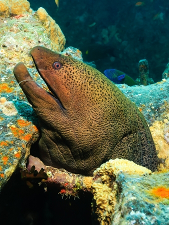 moray: Giant Moray Eel with a fish hook and line stuck in its mouth looks out through a hole on a shipwreck in the Red Sea